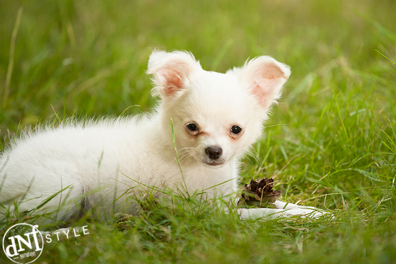 witte chihuahua in gras met dennenappel