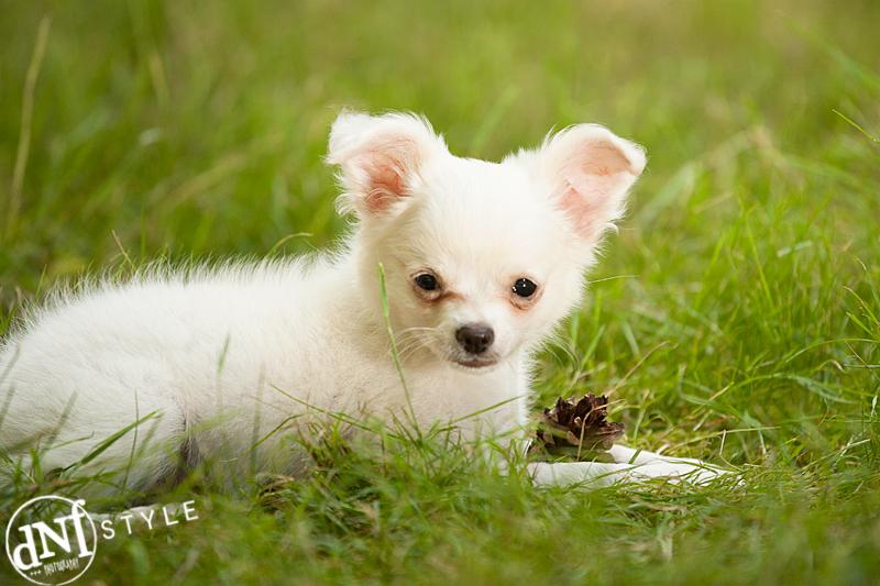 witte chihuahua in gras met dennenappel