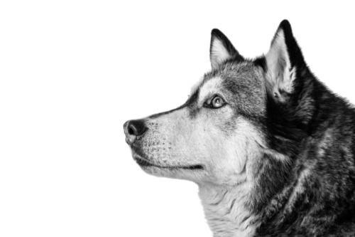 hondenfotografie in de studio van huski